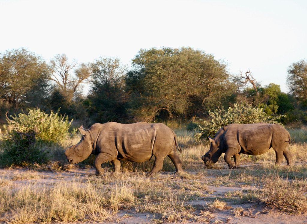 noshörningar utan horn