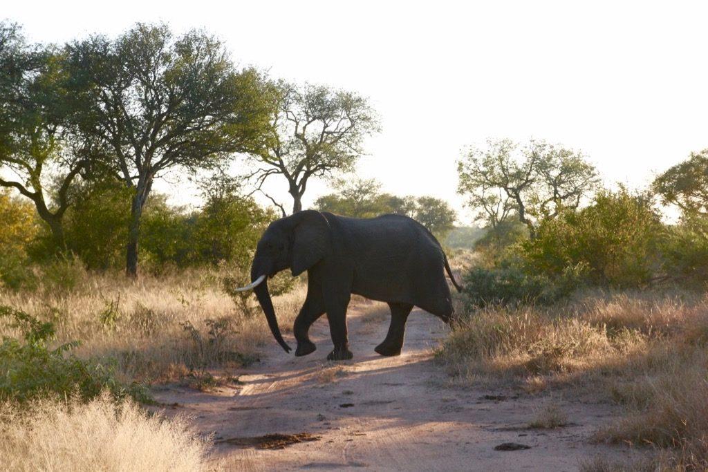 Elefant i Krugerparken