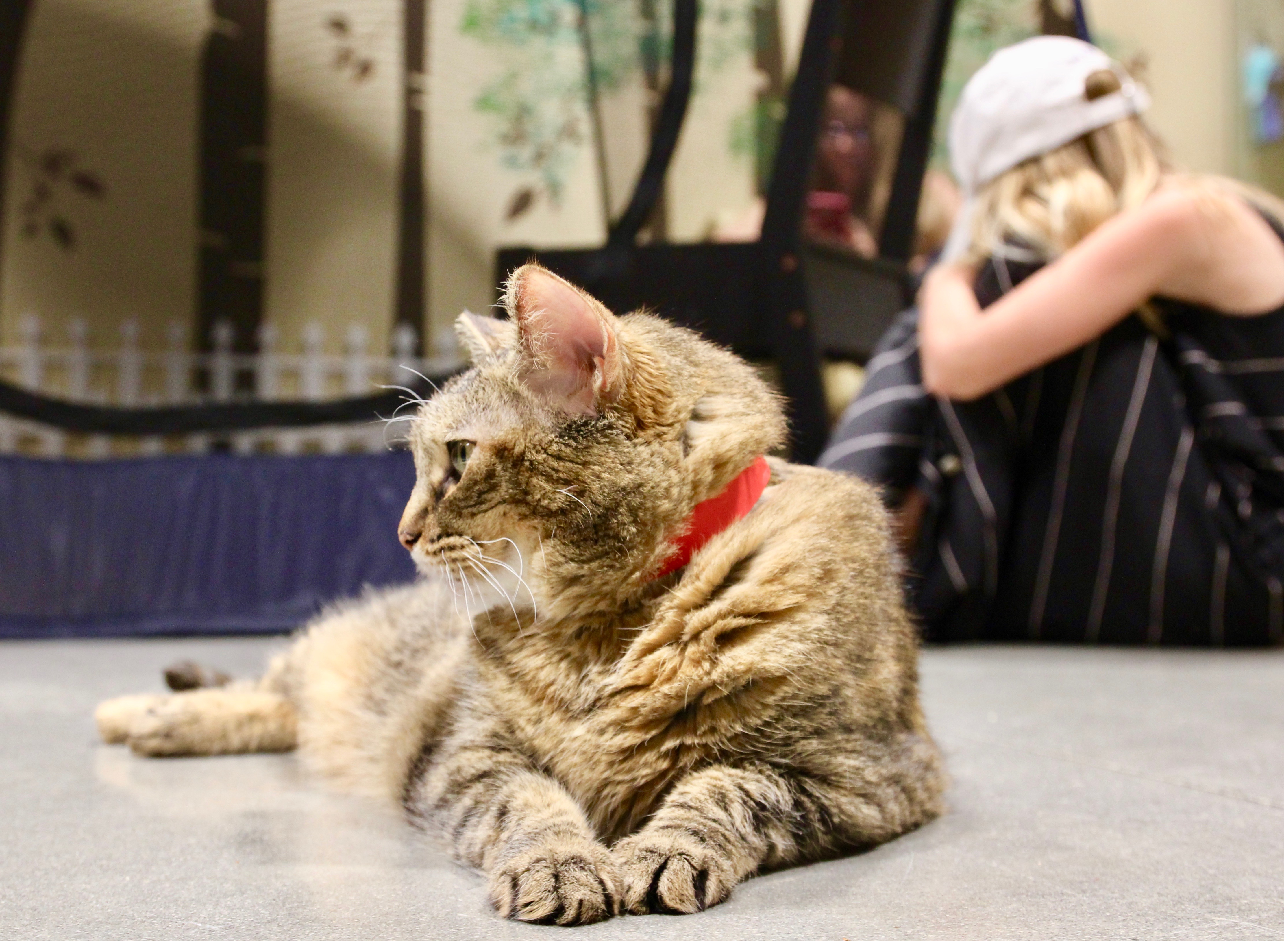Katt på Orlando Cat Cafe