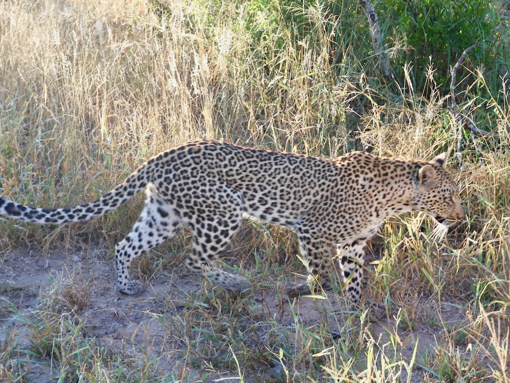 Leopard i Sydafrika, reseåret 2019.